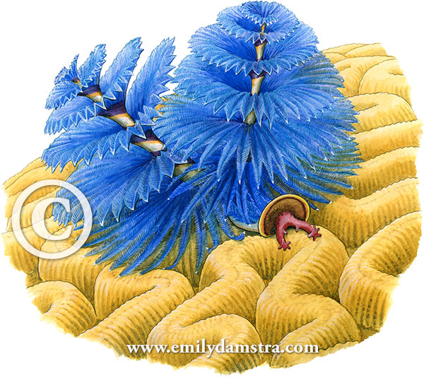 Illustration of Christmas tree worm © Emily S. Damstra